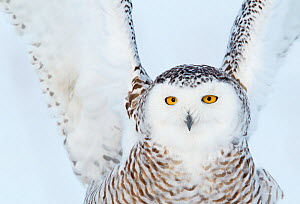 Snowy owl (Bubo scandiaca) close up of female landing on snow covered ground, Canada, February. Magic Moments book plate. - Markus Varesvuo