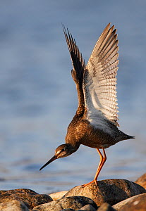 Spotted Redshank (Tringa erythropus) standing on rocky shore, stretching wings, Uts, Finland, Scandinavia, August. - Markus Varesvuo