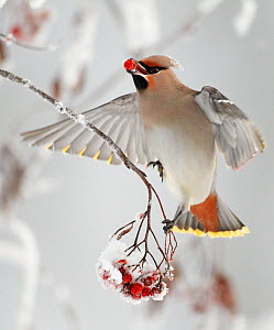 Waxwings (Bombycilla garrulus) feeding on snow covered Rowan (Sorbus) berries, whilst in flight, Kuusamo, Finland, Scandinavia, January. Magic Moments book plate.  -  Markus Varesvuo
