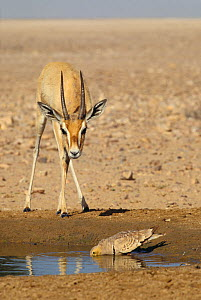 Arabian gazelle {Gazella gazella} and Chestnut-bellied sandgrouse {Pterocles exustus} drinking from pool of water, Oman  -  Hanne & Jens Eriksen