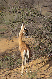 Arabian gazelle {Gazella gazella} reaching up to feed on Acacia, Oman  -  Hanne & Jens Eriksen