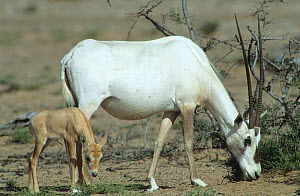 Arabian oryx {Oryx leucoryx} mother and calf, Oman  -  Hanne & Jens Eriksen