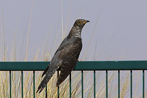 European cuckoo {Cuculus canorus} resting on fence on migration route, UAE, October  -  Hanne & Jens Eriksen
