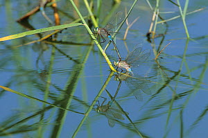 Lesser emperor dragonfly {Anax parthenope} mating pair ovipositing, Oman, April - Hanne & Jens Eriksen