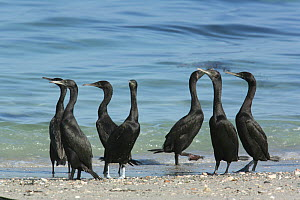 Socotra cormorant {Phalacrocorax nigrogularis} flock on beach, Oman, November  -  Hanne & Jens Eriksen