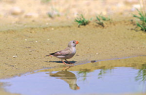 Trumpeter finch {Buchanetes githagineus} at water, Oman, May - Hanne & Jens Eriksen