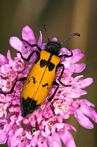 Yellow Meloid / Blister Beetle (Mylabris variabilis) on purple flower feeding on pollen. Italy, Europe. - Paul Harcourt Davies