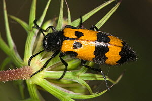 Yellow Meloid / Blister Beetle (Mylabris variabilis) on flower feeding on pollen. Italy, Europe. - Paul Harcourt Davies