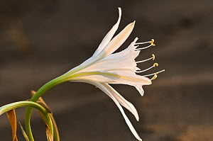 Sea Daffodil / Sea Lily (Pancratium maritimum) flowering, it remains open overnight, when it is pollinated by the Convolvulus Hawkmoth (Herse convolvuli) Italy, Europe  -  Paul Harcourt Davies