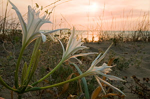 Sea Daffodil / Sea Lily (Pancratium maritimum) flowering on sand dunes late in the afternoon, and remains open overnight, when it is pollinated by the Convolvulus Hawkmoth (Herse convolvuli) Italy, Eu...  -  Paul Harcourt Davies