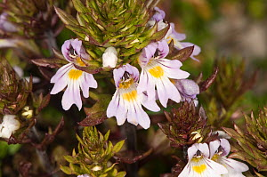 Alpine eyebright (Euphrasia alpina) close-up of flowering stem, on limestone scree, Italy, Europe.  -  Paul Harcourt Davies