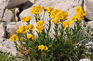 Yellow flax (Linum flavum) in flower, by a wall. Apennine mountains, Italy, Europe.  -  Paul Harcourt Davies