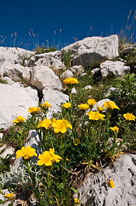 Yellow flax (Linum flavum) flowering in Apennine mountains, Italy, Europe.  -  Paul Harcourt Davies