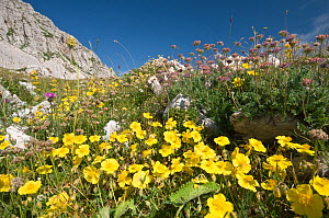 Common Rockrose (Helianthemum nummularium) flowering in the foreground of a display of alpine flowers on Mt Terminillo, Apennine mountains, Italy, Europe.  -  Paul Harcourt Davies