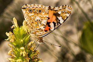 Painted Lady butterfly (Vanessa cardui) at rest, feeding on nectar. Part of the migration of 2009 photographed on Mt terminillo at 2000m. Apennine mountains, Italy, Europe.  -  Paul Harcourt Davies