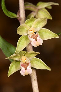 Broad-leaved helleborine (Epipactis helleborine) flowering. This is a widespread orchid of woodlands and also open areas such as sand dunes. Italy, Europe.  -  Paul Harcourt Davies