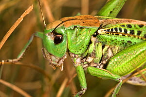 Wart Biter (Decticus verrucivorus) head portrait. So-called because in Sweden it was once used to bite off warts. Italy, Europe.  -  Paul Harcourt Davies