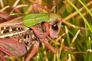 Wart Biter (Decticus verrucivorus) head portrait. So called because in Sweden it was once used to bite off warts. Italy, Europe.  -  Paul Harcourt Davies
