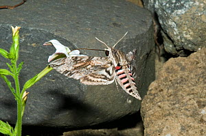 Convolvulus hawkmoth (Agrius convolvuli) feeding on nectar from Nicotiana flower, at dusk, Italy.  -  Paul Harcourt Davies