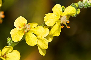 Wavy-leaved mullein (Verbascum undulatum) close up of flowers with characteristic white filament hairs, scrubland, Italy, Europe.  -  Paul Harcourt Davies