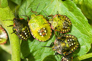Shield / Southern Green Stink Bugs (Nezara viridula) shown here in various nymphal stages. They can cause damage to peas, potatoes and tomatoes. Italy, Europe.  -  Paul Harcourt Davies