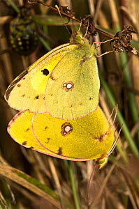 Clouded yellow butterflies (Colias croecea) mating pair, with lighter coloured female above. Italy, Europe.  -  Paul Harcourt Davies