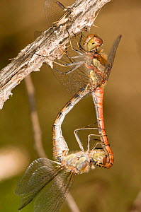 Ruddy Darter dragonflies (Sympetrum sanguineum) close up of mating. Male is red, and above the female. Italy, Europe.  -  Paul Harcourt Davies