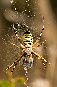 Orb Web Spider (Argiope bruennichi) female hanging on web, wrapping prey. In garden, Italy, Europe. - Paul Harcourt Davies