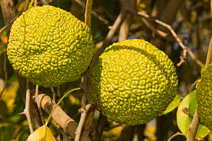 Osage-orange tree (Maclura pomifera) close-up of  two fruits, Botanic gardens, Viterbo, Italy, Europe.  -  Paul Harcourt Davies