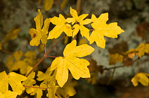 Field Maple (Acer campestre) view of leaves showing characteristic autumnal colours, Lazio, Italy, Europe.  -  Paul Harcourt Davies