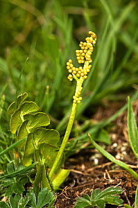 Moonwort (Botrychium lunaria) an unusual fern of high mountain and other limestone areas shown with frond and fruiting body, Umbria, Italy - Paul Harcourt Davies