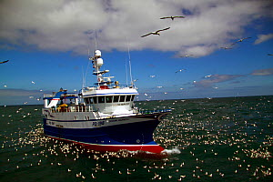 """Ocean Harvest "" fishing on the North Sea, surrounded by seabirds, June 2010. Property released.  -  Philip Stephen"