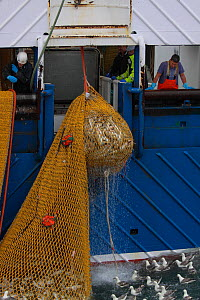 Net filled with Cod (Gadus) being winched onboard a North Sea trawler. Model and Property released.  -  Philip Stephen