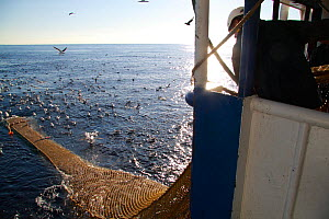 "Net filled with Hake (Merluccius sp) being hauled alongside the trawler ""Harvester"", July 2010. Property released.  -  Philip Stephen"