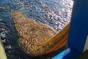 """Net filled with Hake (Merluccius sp) being hauled alongside the trawler """"Harvester"""", July 2010. Property released.  -  Philip Stephen"""