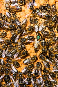 Close up of European honeybees (Apis mellifera) on beekeepers comb within hive. The queen bee has been marked with a green spot. Cilcain, North Wales, UK  -  David Woodfall