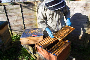 Geoff Critchley of 'The Honey House' demonstrates aspects of beekeeping. Cilcain, North Wales, UK April 2010  -  David Woodfall