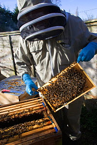 Geoff Critchley of 'The Honey House' demonstrates aspects of the beekeeping. Cilcain, North Wales, UK April 2010  -  David Woodfall