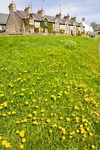 Grassy area in small rural village with natural dandelion colony, ideal habitat for bee population. Wales, UK April 2010  -  David Woodfall