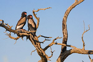 Pair of Bateleur eagles (Terathopius ecaudatus) female (left) and male perched in branch. Kgalagadi Transfrontier Park, South Africa - Ann & Steve Toon