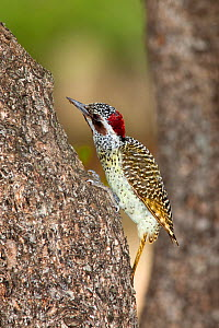 Bennett's woodpecker (Campethera bennettii) on tree trunk, Royal Hlane game reserve, Swaziland, Southern Africa  -  Ann & Steve Toon