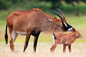 Roan antelope (Hippotragus equinus) with young offspring, Mlilwane nature reserve breeding programme, Swaziland, Southern Africa  -  Ann & Steve Toon