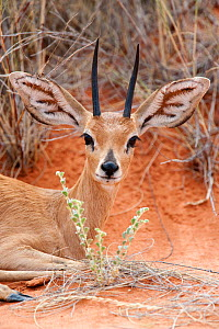 Head portrait of Steenbok (Raphicerus campestris) male, Kgalagadi Transfrontier Park, South Africa - Ann & Steve Toon