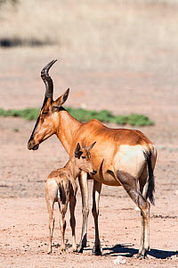 Red hartebeest (Alcelaphus buselaphus) with young, Kgalagadi transfrontier, National Park, Northern Cape, South Africa  -  Ann & Steve Toon