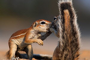 Two Cape Ground squirrels (Xerus inauris) greeting, Kgalagadi Transfrontier Park, South Africa Non-ex. - Ann & Steve Toon