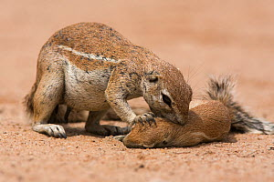 Ground squirrel (Xerus inuaris) grooming baby, Kgalagadi Transfrontier Park, Northern Cape, South Africa Non-ex. - Ann & Steve Toon