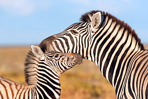 Burchell's zebra (Equus quagga) head portrait of adult with foal, Etosha national park, Namibia - Ann & Steve Toon