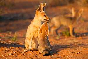 Cape fox (Vulpes chama) sitting with cub, Kgalagadi Transfrontier Park, Northern Cape, South Africa - Ann & Steve Toon