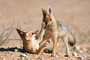 Cape fox cubs (Vulpes chama) play-fighting, Kgalagadi Transfrontier Park, Northern Cape, South Africa - Ann & Steve Toon