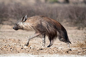 Brown hyena (Hyaena brunnea) walking, Kgalagadi Transfrontier National Park, Northern Cape, South Africa - Ann & Steve Toon